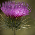 Thistle Flower by Jean Noren