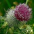Thistle by John Hughes