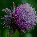 Thistle by Julie Grace