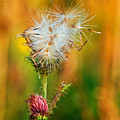 Thistle Seeds by Les Palenik