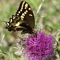 Thistle While You Work by Debbie May