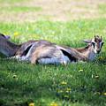 Thompson Gazelles by Theresa Campbell