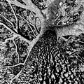 Thorn Tree Black And White by David Lee Thompson