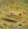 Thorndike Pond Trout by Edward Merrell
