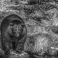 Thornton Creek Black Bear by Roxy Hurtubise