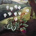 Thornton: Cyclamen by Granger