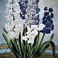 Thornton: Hyacinths by Granger