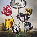 Thornton: Tulips by Granger