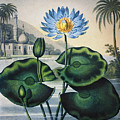Thornton: Water Lily by Granger