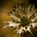 Thorny Crown by Venetta Archer