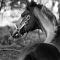 Thoroughbred - Black And White by Angela Rath