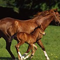 Thoroughbred Chestnut Mare & Foal by The Irish Image Collection