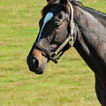 Thoroughbred Portrait Three by Bob Phillips