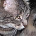 Thoughtful Holly The Cat by Corinne Elizabeth Cowherd