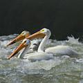 Three American Pelicans by Jeff Swan