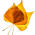 Three Backlit Cottonwood Leaves In Autumn On White by Vishwanath Bhat