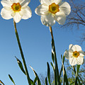 Three Backlit Jonquils From Below by Anna Lisa Yoder