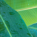 Three Banana Leaves by Dana Edmunds - Printscapes