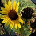 Three Beautiful Sunflower by Jeelan Clark