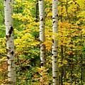Three Birch by Michael Peychich