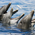Three Bottlenose Dolphins by Dave Fleetham - Printscapes