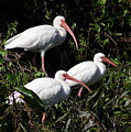 Three Buddies - White Ibis by Christiane Schulze Art And Photography