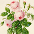 Three Centifolia Roses With Buds by Caroline Adrien