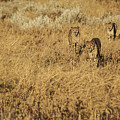 Three Cheetahs by Marc Levine