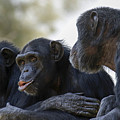 Three Chimpanzees Socializing  by Alon Meir