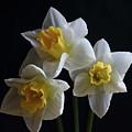 Three Daffodil by Jeff Townsend