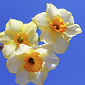 Three Daffodils by Judy Vincent