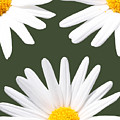 Three Daisies by Terry Weaver