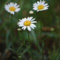 Three Daisy's by Robert Meanor