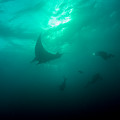 Three Divers And A Manta by Brent Barnes