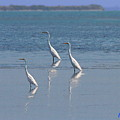 three Egrets by W Gilroy