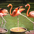 Three Flamingos by Judy Wolinsky