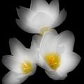 Three Flowers by Kenneth Krolikowski