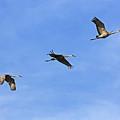 Three Flying Sandhill Cranes by Carol Groenen