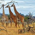 Three Giraffes by Robert Abramson