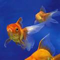 Three Goldfish by Simon Sturge