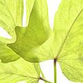 Three Green Leaves by Regina Geoghan