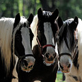 Three Gypsy Vanner Mares by Carien Schippers