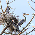 Three Herons by Joni Eskridge