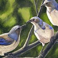 Three Jays by Catherine G McElroy