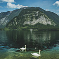 Three Lake Hallstatt Swans by Andy Konieczny