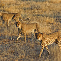 Three Cheetahs by Aivar Mikko