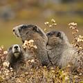 Three Marmots 2 by Marv Vandehey
