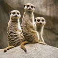 Three Meerkats by Chad Davis