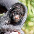 Three Month Old Spider Monkey by Jess Kraft