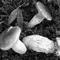 Three Mushrooms by David Lee Thompson